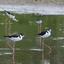 BLACK-NECKED STILTS, Cano Negro